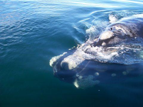 Explora Patagonia Puerto Madryn Peninsula Valdez Avistaje Whale Watching